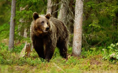 The Goiat bear destroys the hives of the Pyrenees
